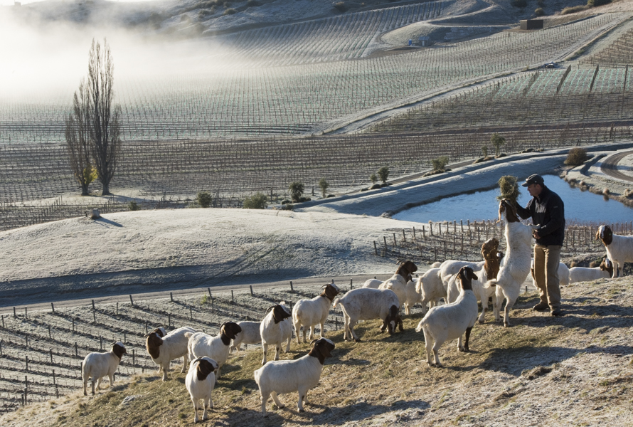 Gareth King, Felton Road Viticulturist, feeding his goats on a frosty winter day, Central Otago, New Zealand