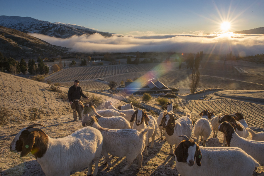 Frosty winter dawn at Felton Road Vineyard, Central Otago, New Zealand